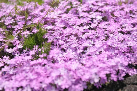 Springflowers64