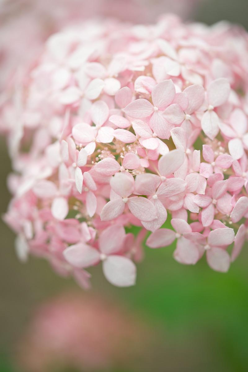 性海寺 紫陽花 ピンクのアナベル