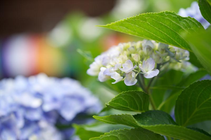 性海寺 紫陽花