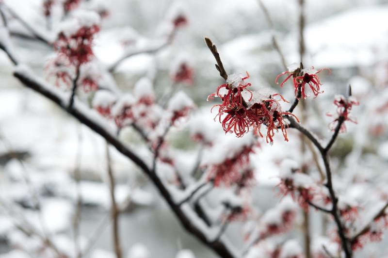 Snowshirotori32